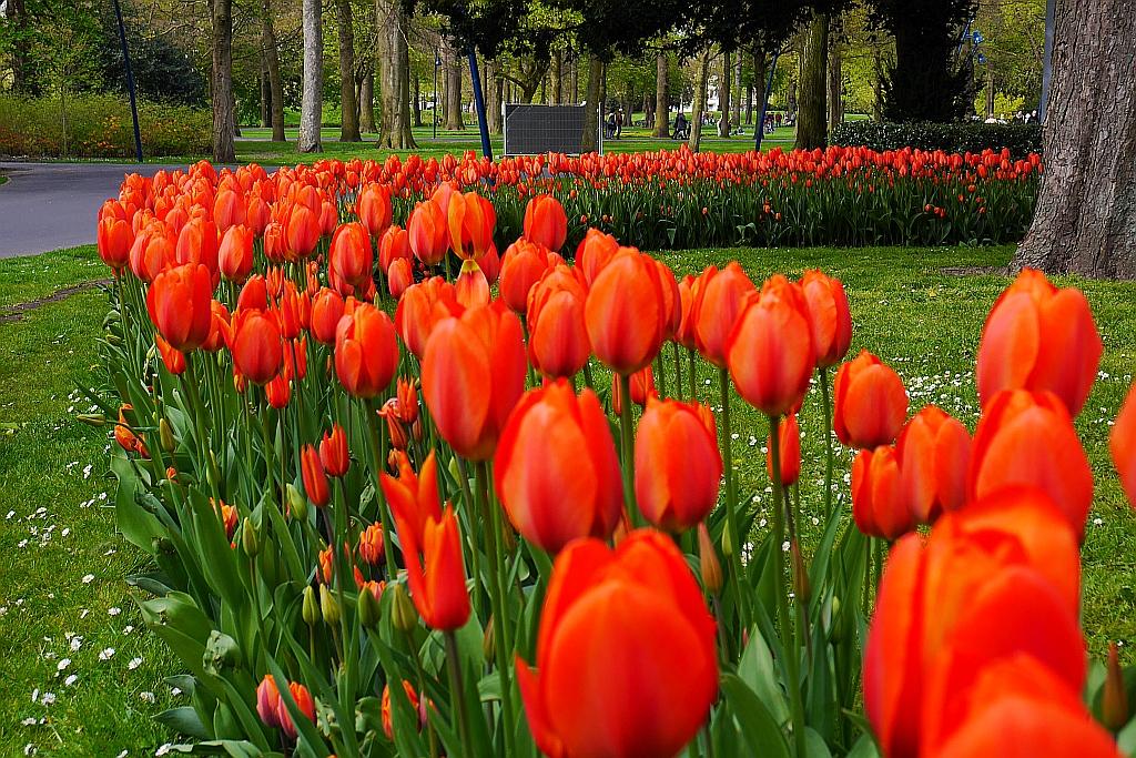 Tulpen im Park Breda