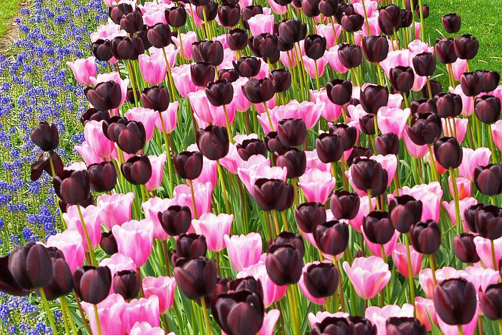 Keukenhof Tulpen schwarz rosa