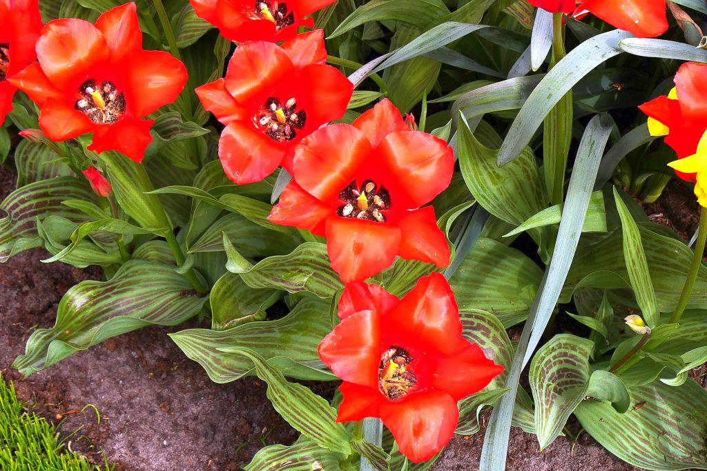 Keukenhof Tulpen Blüten von oben