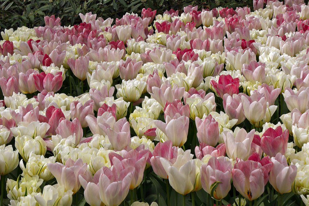 Keukenhof Tulpen weiß