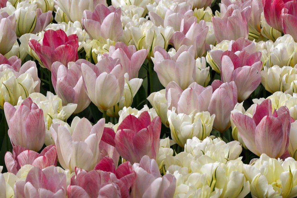 Keukenhof Tulpen weiß Nahaufnahme