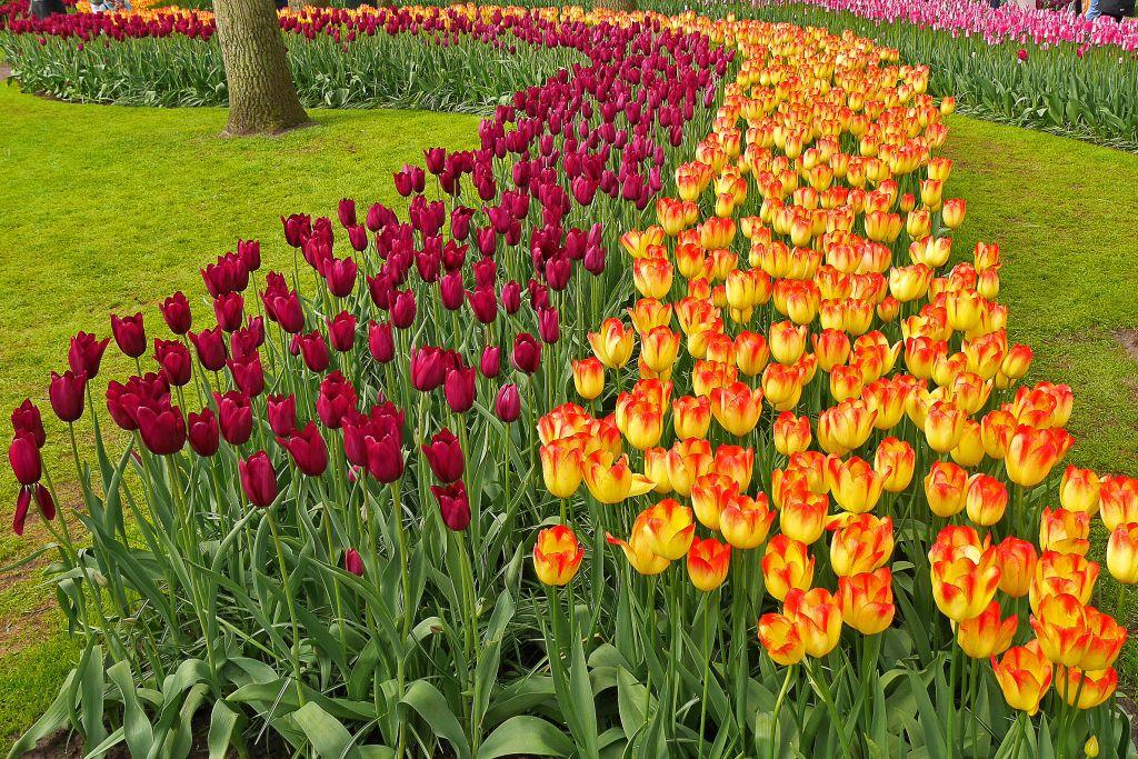 Keukenhof Tulpen lila gelb