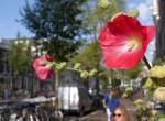 Stockrosen Blüte Amsterdam