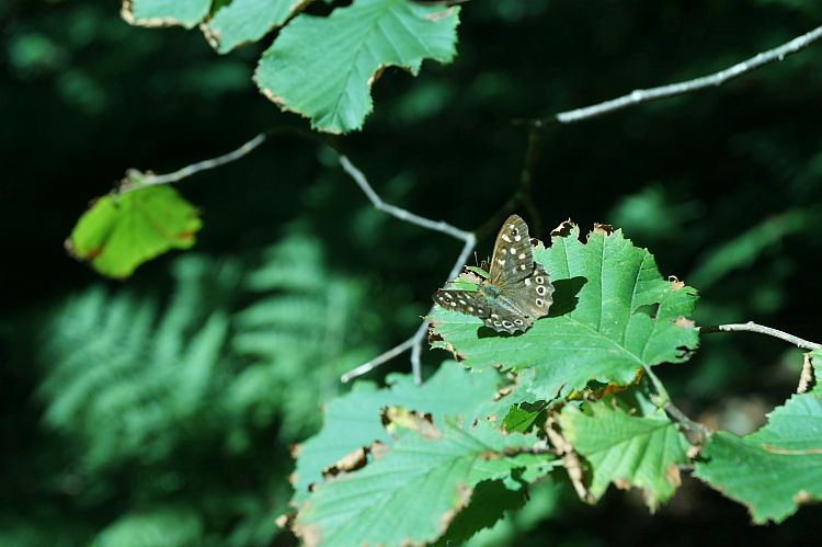 Schmetterlin in Het Wildrijk